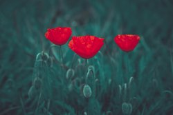 free photos - Sommer, Mohn