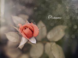 Gratis-Fotos, Rose, Sommer